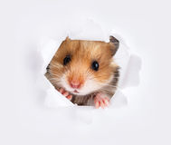 Little hamster looking up in cardboard Royalty Free Stock Image