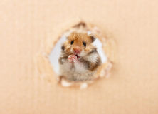 Little hamster looking up in cardboard. Side torn hole Stock Image