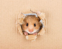 Little hamster looking up in cardboard. Side torn hole Royalty Free Stock Images