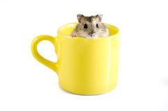 Little hamster sitting inside a yellow cup Royalty Free Stock Photography
