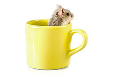 Little hamster sitting inside a yellow cup Royalty Free Stock Image