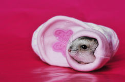 Little hamster sleeping in a little pink shoe Stock Images