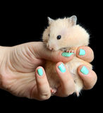Little hamster straw colored in hand Royalty Free Stock Photo