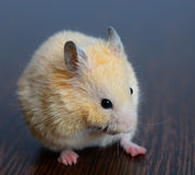 Little hamster straw colored Stock Image