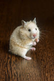 Little hamster straw colored Royalty Free Stock Images