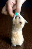 Little hamster straw colored Royalty Free Stock Photos