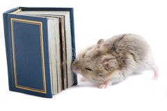 Little hamster wants knowledge. Royalty Free Stock Photography
