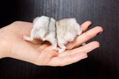 Little hamsters in the hands of women Royalty Free Stock Photo