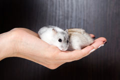 Little hamsters in the hands of women Royalty Free Stock Photography