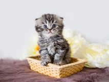 Little handsome fluffy kitten. Little beautiful lop-eared kitten sitting in a straw basket and posing at the camera Royalty Free Stock Photos