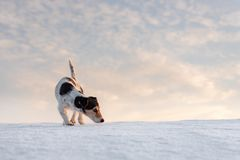 Little handsome Jack Russell Terrier dog sniffs in front of atmospheric cloudy sky. Little cute handsome Jack Russell Terrier dog sniffs in front of atmospheric stock photo