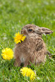 Little hare Royalty Free Stock Photo