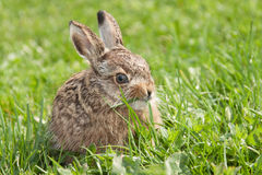 Little hare Stock Images