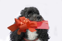 Little harlequin poodle with gift in his snout. Cute little harlequin poodle with gift in his snout A voucher for birthday valentine, mother`s day, day or for stock image