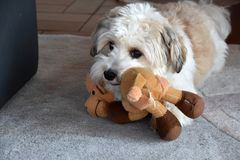 Little havanese puppy with his favourite toy. Small havanese puppy dog with big eyes plays with his favourite toy a cuddly camel royalty free stock photography
