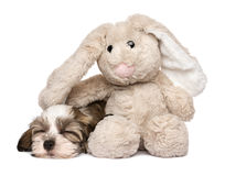 Little Havanese puppy sleeping with a rabbit plush toy Royalty Free Stock Photos
