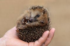 Little hedgehog. On mans hand, looking at you with smile Stock Photo