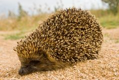 Little hedgehog Royalty Free Stock Image