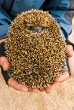Little hedgehog Stock Photography