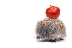 Little hedgehog Stock Photos