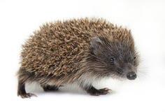 Little hedgehog Royalty Free Stock Photo