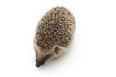 Little Hedgehog Royalty Free Stock Photography