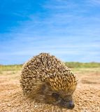 Little hedgehog Stock Images