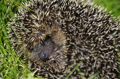 Little hedgehog / Erinaceus europaeus  Stock Image