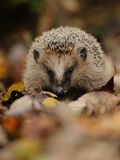 Little Hedgehog. This little hedgehog i can photograph between the leaves on the bottom Stock Image