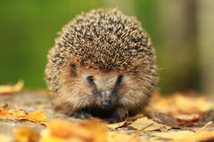 Little Hedgehog in the autumn forest Royalty Free Stock Photos