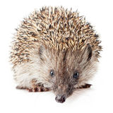 little hedgehog Royalty Free Stock Photo