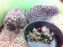 Little hedgehog Royalty Free Stock Image