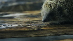 Little hedgehog explores two gold wedding rings on tree. There is pair golden of engagement rings on edge just in front of us. Jewelry for groom is on left stock footage