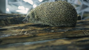 Little hedgehog finds two gold wedding rings on tree. Small rotund urchin with big ears close to body, diminutive black eyes walks on wooden rough board. We stock footage
