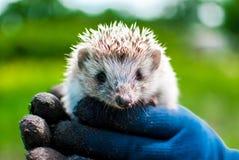 Little hedgehog found in the garden. Stock Photo