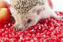 Little hedgehog and fruit Stock Photo