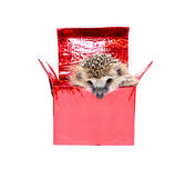 Little Hedgehog in a gift box Stock Images