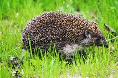 A little hedgehog goes to visit the badger on the green grass stock image