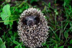 Little hedgehog on a green grass Royalty Free Stock Photos