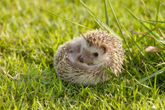 Little Hedgehog in the green grass Royalty Free Stock Images