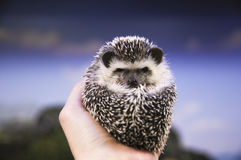 Little Hedgehog on hands Royalty Free Stock Image