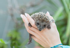 Little Hedgehog on hands Royalty Free Stock Photo