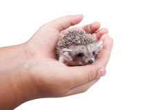 The little hedgehog in the hands Royalty Free Stock Photos