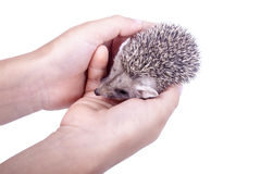 The little hedgehog in the hands Royalty Free Stock Photo
