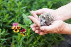 Little hedgehog in human hands against the backdrop of greenery Royalty Free Stock Image