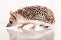 Little hedgehog isolate Royalty Free Stock Photo