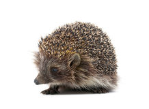 Little hedgehog isolated on white background close up Royalty Free Stock Photos