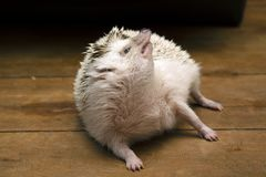 Little hedgehog lay down on floor and turn the face upwards. Stock Photo