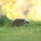 Little hedgehog looking Stock Photography