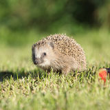 Little hedgehog looking at you Royalty Free Stock Photo